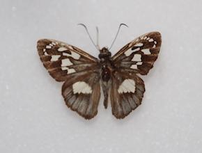 Hyalothyrus leucomelas (dorsal)