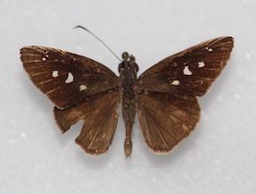 Phanes almoda (dorsal)