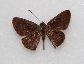 Eutocus fabulinus (dorsal)