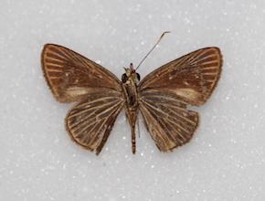 Eutocus fabulinus (ventral)