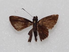 Methionopsis ina (dorsal)