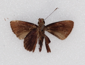 Methionopsis ina (ventral)