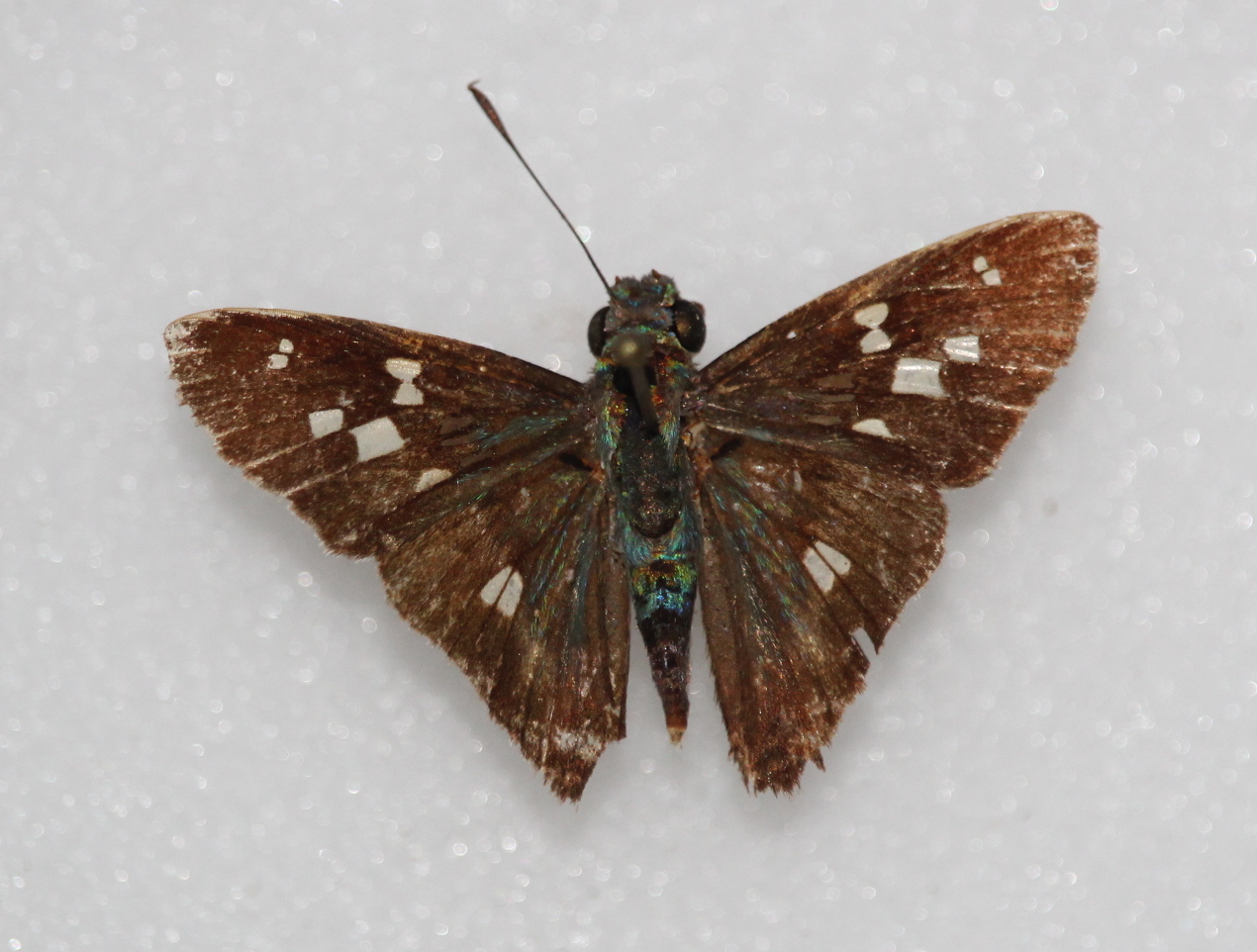 Niconiades xanthaphes (dorsal)