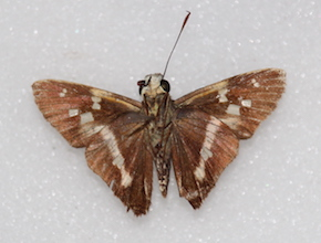 Niconiades xanthaphes (ventral)