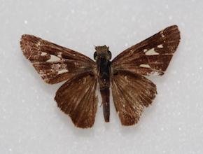 Panoquina lucas (dorsal)