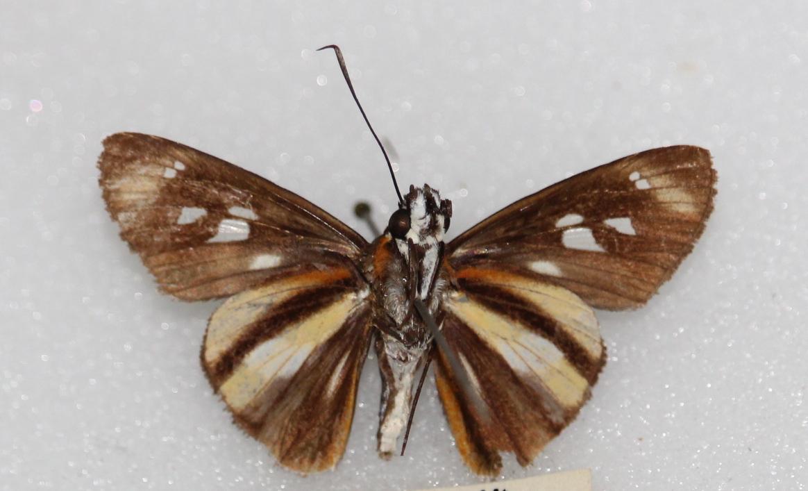 Vettius phyllus (ventral)