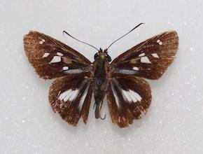 Vettius phyllus (dorsal)
