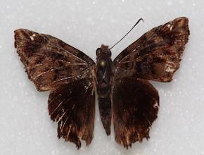 Noctuana stator (dorsal)