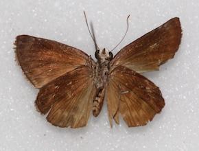Chiomara basigutta (ventral)