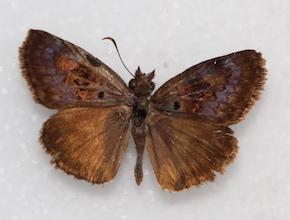 Chiomara basigutta (dorsal)