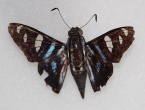 Jemadia fallax (dorsal)