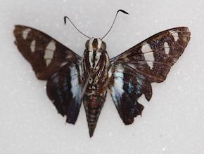 Jemadia fallax (ventral)