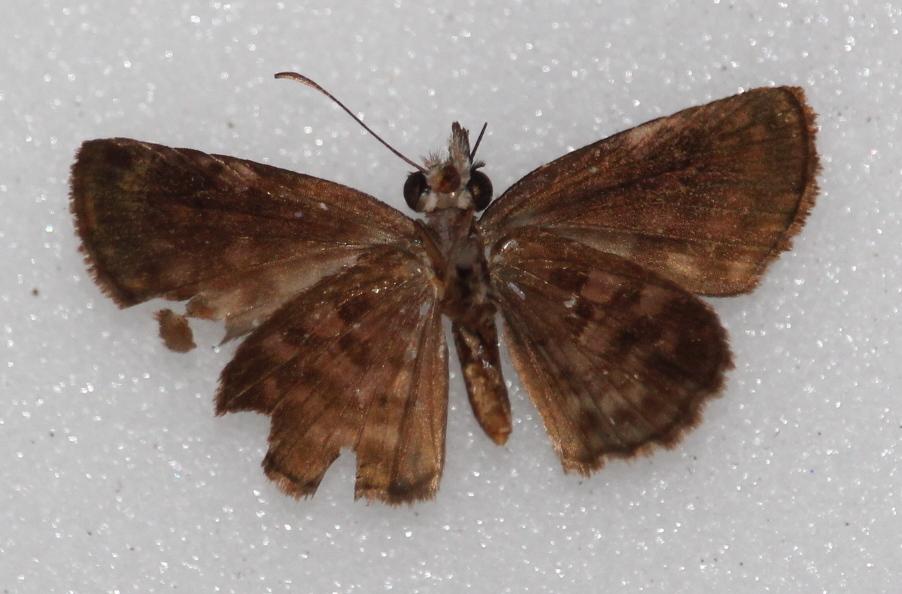 Gorgythion plautia (ventral)