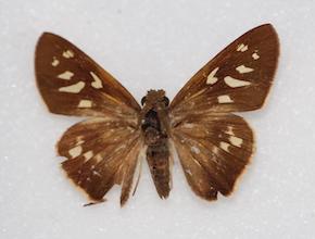 Saliana longirostris (dorsal)