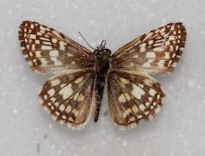 Pyrgus orcus (dorsal)