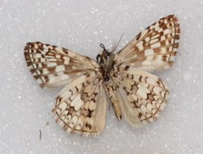 Pyrgus orcus (ventral)