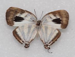 Arawacus aetolus (dorsal)