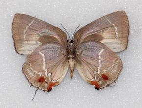 Strephonota strephon (ventral)
