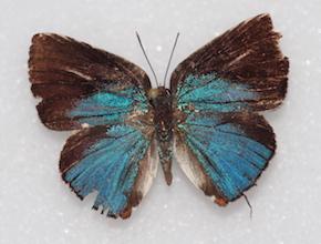 Strephonota falsistrephon (dorsal)