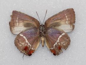 Strephonota falsistrephon (ventral)