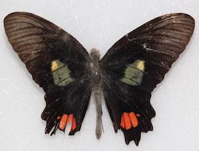 Parides vertumnus (dorsal)