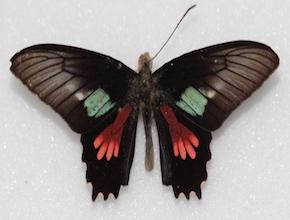 Parides neophilus (dorsal)