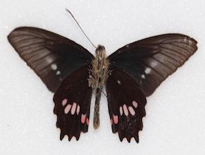 Parides neophilus (ventral)