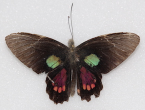 Parides aeneas (dorsal)