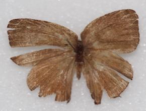 Thecla hemon (dorsal)