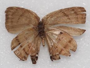 Thecla hemon (ventral)